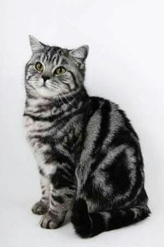 Black Smoke Classic Tabby British Shorthair www