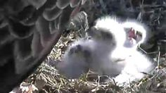 DECORAH IOWA EAGLE CAM   It has been so much of an amazingdiscovery seeing the various interactions of the Bald Eagles with their offspring...