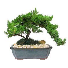 Image result for japanese juniper bonsai tree