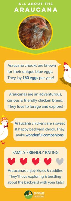 Araucana chooks are an all round fabulous breed. Their presence will make your backyard flock all the more lively as they curiously adventure and bustle about the backyard! Check out their breed profile here, http://www.backyardchickencoops.com.au/breed-profile-araucana/ #loveyourchickens  #infographic #Araucanachickens