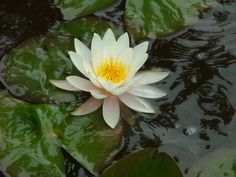 Water lily, Nymphea alba