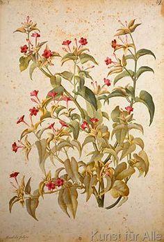 Botanik - Mirabilis Jalapa