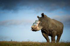 Dieses vierjährige weibliche Nashorn mit dem Namen Hope (Hoffnung) hat noch mal Glück gehabt. Im Lombardi Nature Reserve in Südafrika war das Tier Anfang Mai von Wilderern mit einem Betäubungspfeil angegriffen worden. Anschließend hackten sie das Horn ab, für das auf dem Schwarzmarkt hohe Preise gezahlt werden. Ohne die spätere Hilfe von Tierärzten wäre das Tier womöglich verblutet. Danach wurde Hope ins Shamwari Game Reserve gebracht, wo dieses Foto am 26. Mai entstand