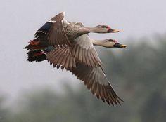 Spot -billed Duck in flight