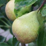 Dwerg Peer - Fruitbomen.net Mobiel