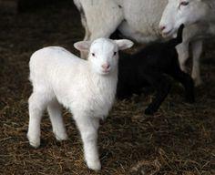 yes, I want sheep.