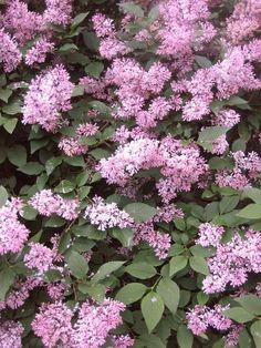 Scented, Aromatic, Fragrant Shrubs and Garden Plants: Syringa microphylla 'Red Pixie' Red Pixie, London Garden, Plant Guide, Trees And Shrubs, Photo Reference, Garden Plants, Rose, Lilac, Leaves
