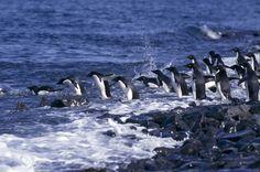 Widescreen penguin backround by Wilfrid Leapman (2017-03-07)