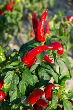 Capsicum annuum or chili peppers being grown to make Hungarian paprika - Kalocsa Hungary Fruit Plants, Fruit Trees, Hungarian Cuisine, Hungarian Food, Hungarian Recipes, Stuffed Hot Peppers, Stuffed Mushrooms, Chilli Recipes, Chilli Food
