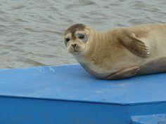 Harbor Seal. Del City Marina Del City, Delaware City, Harbor Seal, Animals, Animales, Animaux, Seal, Animal, Animais