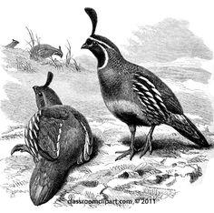 partridge-bird.jpg (550×546)
