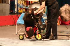 """Animal advocates in Germany are saying """"Auf Wiedersehen"""" to the abusive chimpanzee act—the last of its kind—at Baden-Württemberg's Schwaben Park amusement park."""