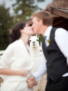 Nothing makes a good #wedding picture like a photobombing llama.