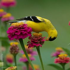 Goldfinch on summer zinnea - Creator Created Birds and said to us, in HIS last book The Noble Qur'an: DO YOU NOT SEE HOW I HAVE CREATED BIRDS? WOULD YOU NOT THEN BELIEVE?