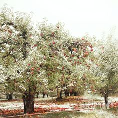 First Snow On Apple Hill Tree Orchard Photography  by MaleahTorney, $30.00