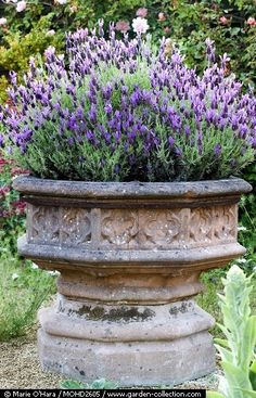 Lavender in a pot. Easy. Comes back every year. Just prune back. Simple and beautiful.