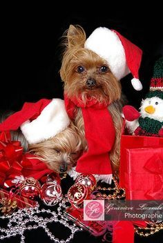 All About The Tenacious Yorkshire Terrier Dogs Size Christmas Animals, Christmas Love, Christmas Pictures, Merry Christmas, Christmas Pets, Christmas Stocking, Yorkies, Yorkie Puppy, Cute Puppies