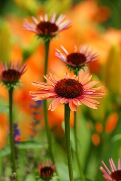 Orange Coneflower #autumnflowers