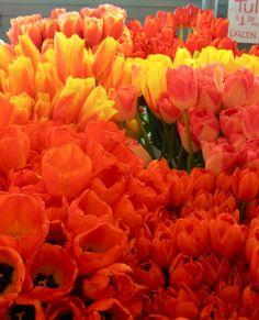 Orange tulips galore!