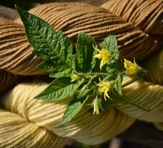 Olann-Wolle:dyed with tomato-leaves
