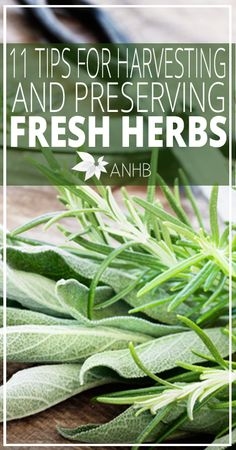 11 Tips for Harvesting and Preserving Fresh Herbs - All Natural Home and Beauty
