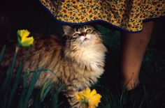 What's up? Close view of a pet cat named Goldie, July 1972. Photograph by Bruce Dale, National Geographic