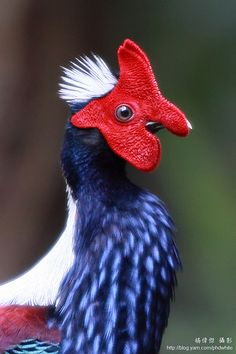 Swinhoe's Blue Pheasant, we have two of these in our pens too!  They are beautiful.