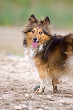 Happy Sheltie resting during play
