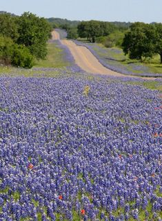 Bluebonnet Texas Wildflowers- They start coming up in January or February and by April are in full bloom.     East of Dallas, in fields and ditches, they are so pretty but the real beautiful ones are on the roads to south central Texas.