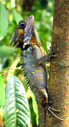 Boyd's Forest Dragon is a species of arboreal agamid lizard found in rainforests and their margins in the Wet Tropics region of northern Queensland, Australia