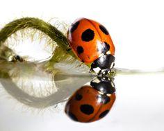 .....Ladybug Drinking .....