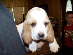 My baby Buttercup.4wk old Bassett Hound.  Adorable!!!!