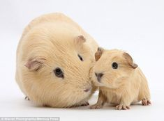 A Yellow Guinea pigs mother is seen grooming its young baby...