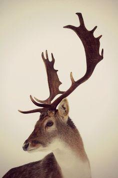 {deer}