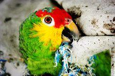 75 Parrots ideas   parrot, parrot image, pet birds