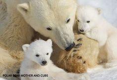 Polar Bears Habitat Endangered - Save the Polar Bears| Save BioGems | NRDC, Natural Resources Defense Council