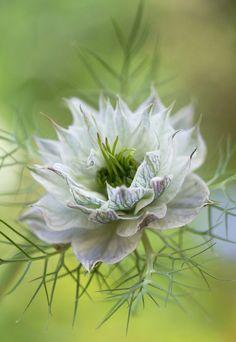 ~~Nigella~~ Beautiful gorgeous pretty flowers