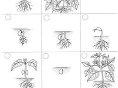ciclo de vida da planta - Pesquisa Google