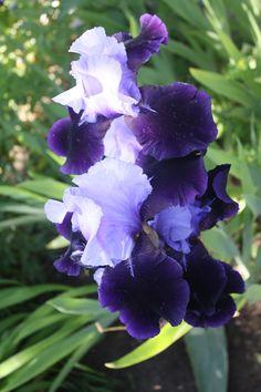 DanWalt garden iris