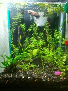 Did you know that having live aquarium plants can make fish keeping easier? If you give the plants enough light, the plants will eat all the ammonia(the stuff that makes fish sick!) and can really help keep the water cleaner and make water changes just a little bit easier! #betta #fish