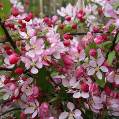 Malus floribunda - Crab Apple Tree | Mail Order Trees