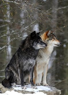 Photo: Mackenzie Valley Wolf, Alaskan Tundra Wolf or Canadian Timber Wolf (Canis lupus occidentalis), two wolves in the snow Author: Michael WeberGorgeous! I wish they all had bulletproof,human proof protection. Wolf Photos, Wolf Pictures, Animal Pictures, Wolf Love, Beautiful Creatures, Animals Beautiful, Cute Animals, Tier Wolf, Beautiful Wolves