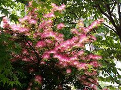 Mimosa tree (Albizzia julibrissin var. rosea)