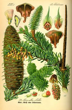 Illustration_Abies_alba0.jpg (1559×2381)
