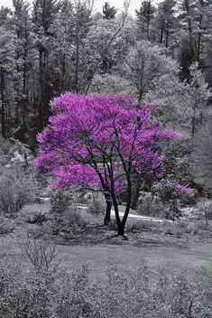 Tree Photography Black And White Color Splash Ideas Splash Photography, Tree Photography, Color Photography, Black And White Colour, Black And White Pictures, Color Splash Photo, Purple Trees, Of Wallpaper, Belle Photo