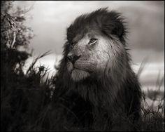Lion in Shaft of Light, Maasai Mara, 2012  Nick Brandt
