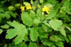 A szemölcsirtó vérehulló fecskefű! Vitamins, Essential Oils, Health Fitness, Medical, Herbs, Garden, Flowers, Life, Garten