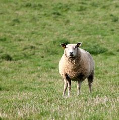 Sheep, Mark, Expensive, Mammals, Livestock, Farmhouse copyright free images no attribution required