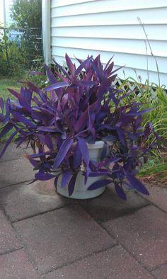 Setcreasea pallida 'Kartuz Giant' (Kartuz Giant Purple Heart Wandering Jew)