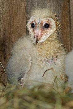 He's so ugly he's cute!!! 500px / Baby Barn Owl by Bill McCormack